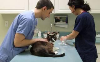 Особенности ухода за котом после кастрации
