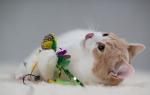 Кошка уход и питание