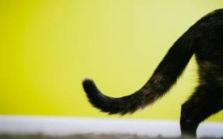 Болезни хвоста у котов и их лечение