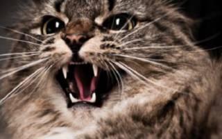Самые опасные болезни кошек