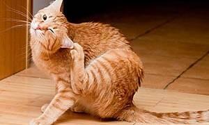 Атопический дерматит у кошки схема лечения
