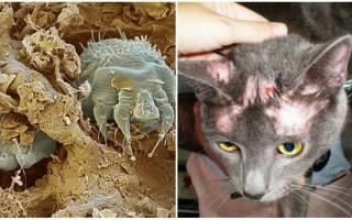 Чесоточный клещ у кошек лечение