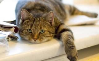Асцит у кошки как лечить