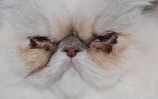 Катаральный конъюнктивит у кошек лечение