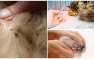 Пироплазмоз у кошек лечение