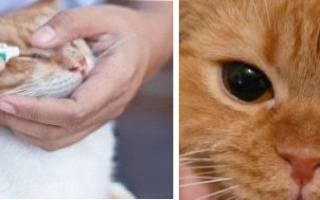 У кошки гноится глаз причины и лечение