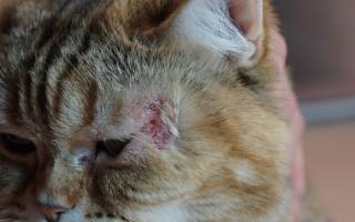 Мокнущая рана у кошки лечение