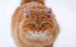 Болезни рыжих котов