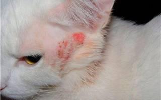 Как лечить власоеда у кошки