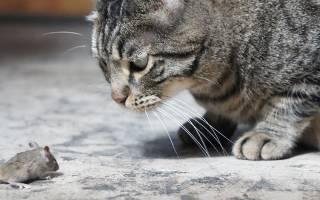 Токсоплазмоз у кота симптомы и лечение