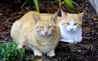 Лечение хпн у кошек народными средствами