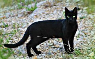Стафилококк у кошки лечение