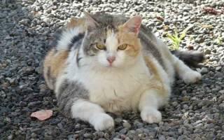 Гормональное лечение кошек