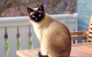Лечение шишки у кота