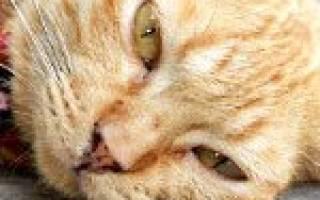 Лечение гепатоза у кошек